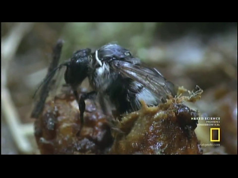 BUMBLEBEES - The Secret World of Bees