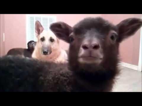 talking goat yeah
