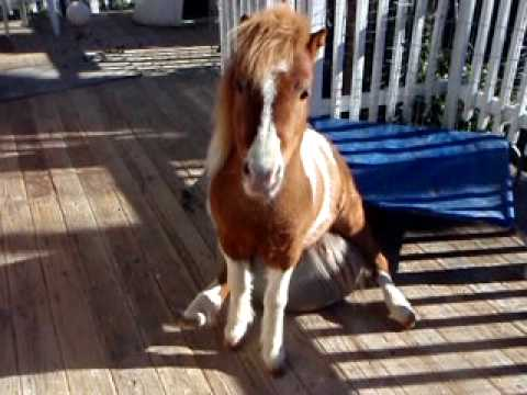 Saber Mini Horse sitting on his exercise ball - YouTube