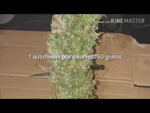 1 plant harvest. Autoflower northern lightsxheadlight kush