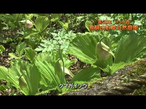 高山市 「リスの森 飛騨山野草自然庭園」 ~春の山野草~