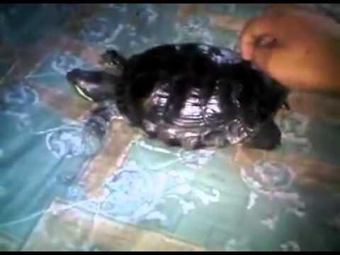 Tortuga Bailando Panamericano - We No Speak Americano By Yolanda Be Cool video