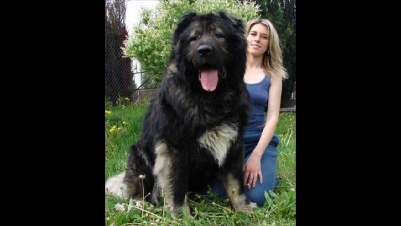 Cute Giant Dog Big Dogs Pets Cute Dogs