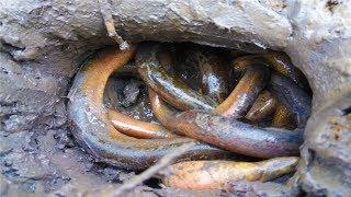 Phát Hiện Tổ Lươn Đồng Chết Cạn .Bắt Lươn Đồng Dưới Bùn. Amazing Man Catching Eel From Mud