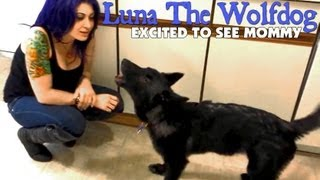 download lagu Luna The Wolfdog Is Excited When Mommy Gets Home gratis