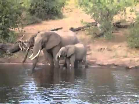 Elephant Crocodile Trunk Crocodile Bites Elephant on