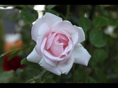 Rosen Richtig Zurückschneiden - NewWonder555