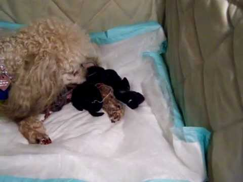 Toy Poodle Giving Birth
