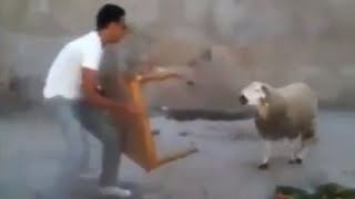 How not to defend against a belligerent sheep (very funny)