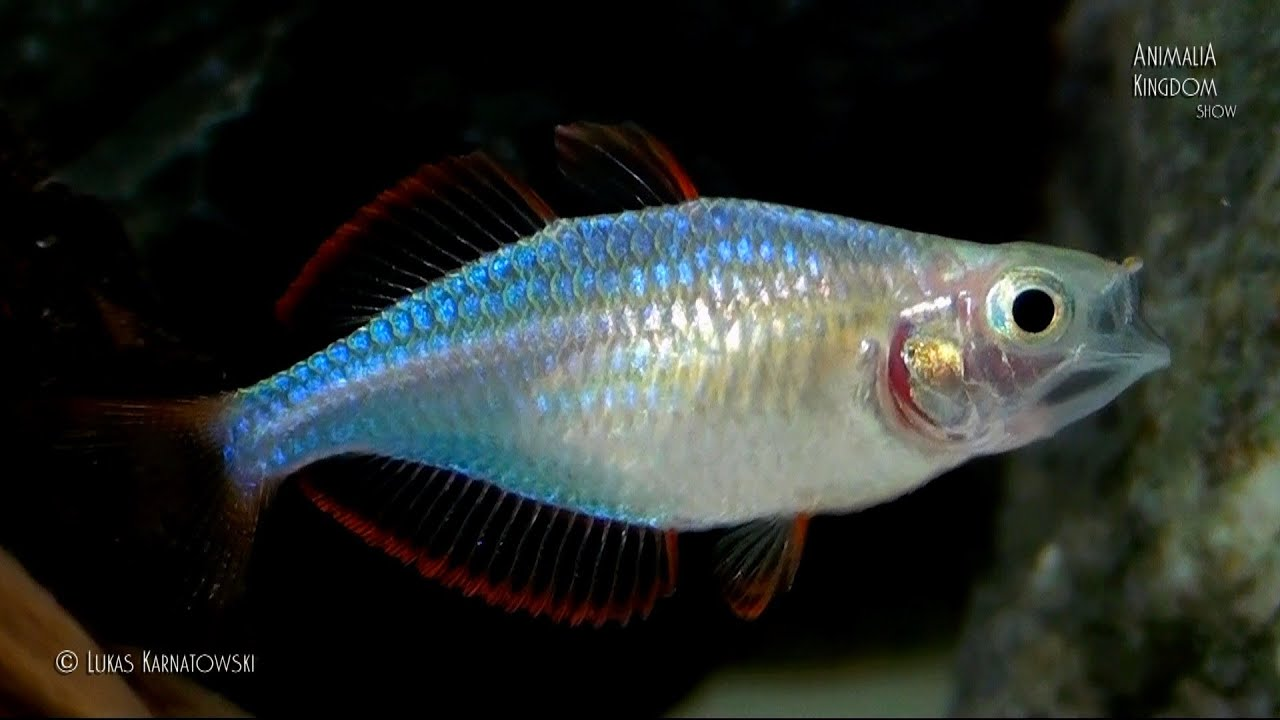 Dwarf Neon Rainbowfish (Melanotaenia praecox) - Young fishes ...