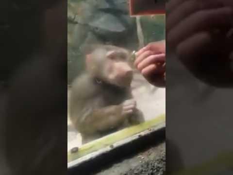 Monyet ku pelik