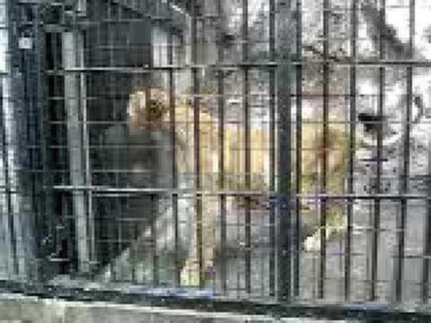 野毛山動物園のライオン(♀)