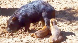 Chaco Pekaris Schweine Pigs Relaxed   Funny Animals