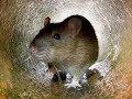 Bẫy chuột _con này khỏe ghê!!!