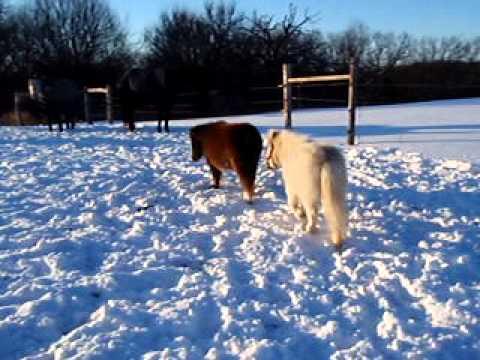 Miniature Horses – Funny Miniature Horses