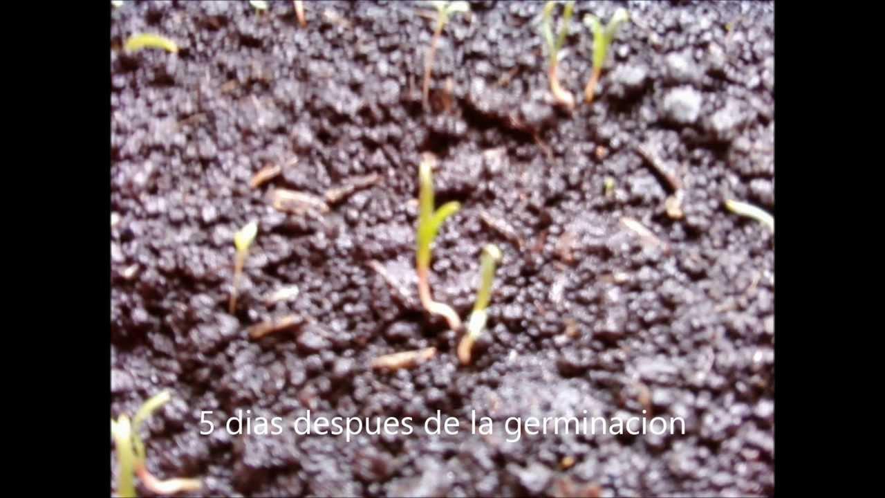Como sembrar y germinar espinaca en casa youtube for Como cultivar peces en casa