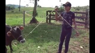 Como domar um boi| Adestramento De Bezerros