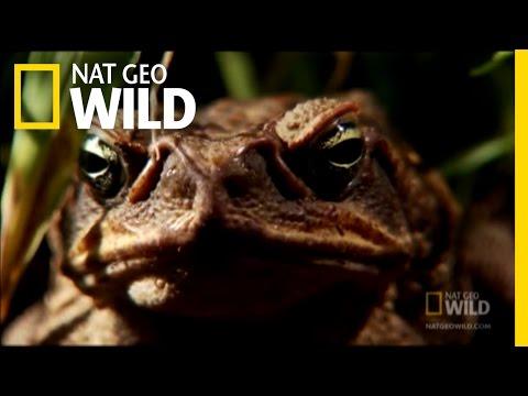 Venomous Cane Toads | Nat Geo Wild