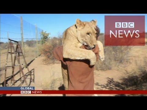 【BBC】 ライオンが大好きな人に跳びつき抱きつき挨拶