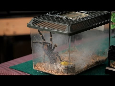 How to Clean the Terrarium | Pet Tarantulas