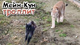 РЕАКЦИЯ РЫСЕЙ И ПУМЫ НА ЗАПАХ ЗМЕИ / Мейн-Кун провоцирует больших кошек