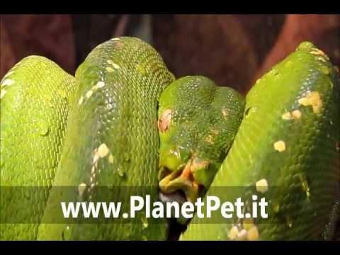 Morelia Viridis – www.PlanetPet.it