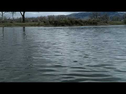Bighorn River Dry Fly Fishing - Jumping Brown