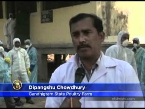 News!! Chickens Culled after Bird Flu Strikes Northeast India 2011-03-08