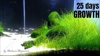 Aquascaping GAME OF RIVER STONE - Trimming hairgrass (eleocharis)