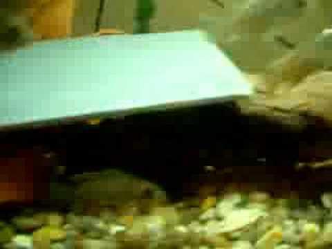 My Baby Cichlids Plus One Bullied Malawi