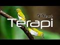 Terapi Ampuh Pancing Burung Pleci Macet Dilengkapi Tips Perawatan Harian