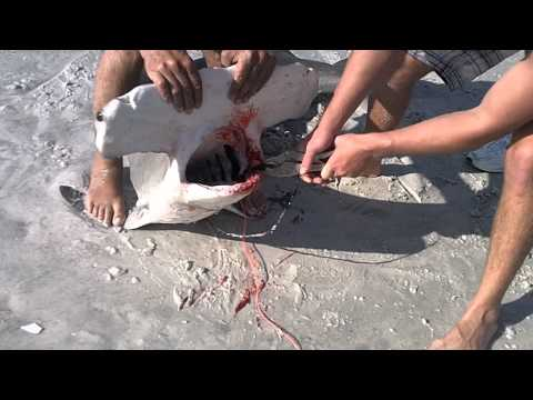 Florida Beach Shark Fishing BIG HAMMERHEAD FROM THE BEACH