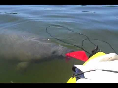 Manatee trying to eat my Kayak flag