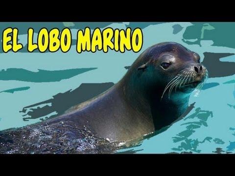 El lobo Marino, sumérgete en su mundo