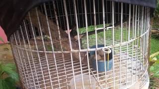 belajar menjinakan burung pelatuk