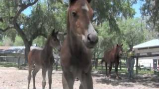 Parelli Foals Started Naturally - Horse Training