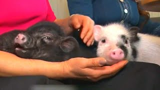 Cafe Lets Guests Sip Tea and Pet Pigs