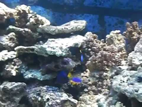 chevron tang, Purple tang, 2 clowns , Vlamingi tang fox face and Hippo tang Video
