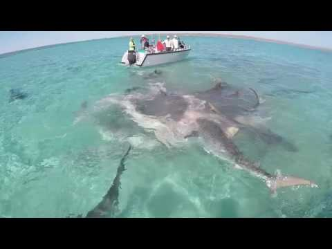Tiger sharks frenzy eating whale Eco Abrolhos Cruise Kimberleys