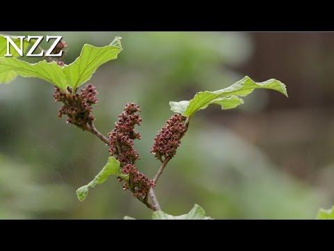 SRF1: Heilen mit Pflanzen – Phytotherapie, Donnerstag, 16. Juni um 23:20 Uhr