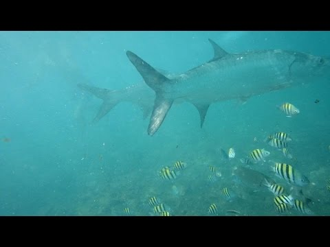Snorkeling With Tarpon at Grand Cayman Island