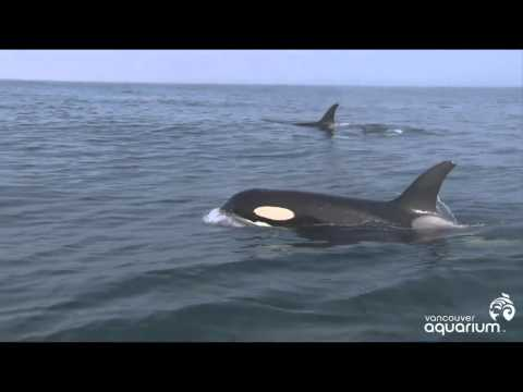 Wild Orcas   Book of days