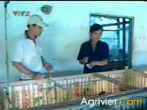 KT nuối gà thả vườn (II)