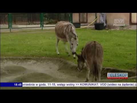 Osły Z ZOO W Poznaniu Znów Razem