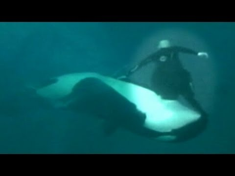 Caught on Tape: Whale Almost Kills Sea World Trainer, Holds Him Under Water