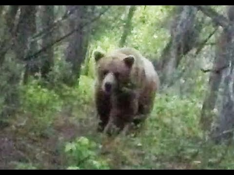 Spear Hunting a Grizzly Bear at ground Level