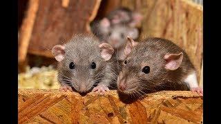 Rat | rat dance | rat videos |rat video for kids | rat videos in hindi|  rat by JGD