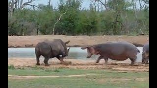 Hippo vs Rhino real Fight to Death - Wild Animals Attack