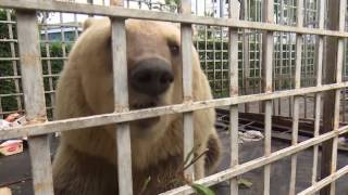 Two of Europe's saddest bears rescued