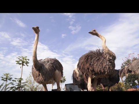 Proceso de Reproducción del Avestruz - TvAgro por Juan Gonzalo Angel
